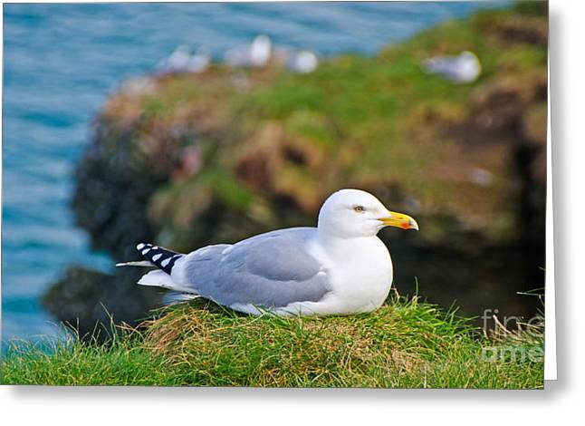 Aquatic Greeting Cards - Herring Gull at Rest Greeting Card by Chris Thaxter