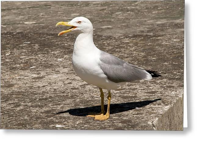 Herring Gull Greeting Card by Nigel Downer