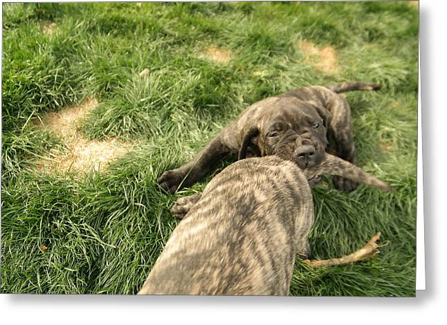 English Mastiff Greeting Cards - Hey You Come Back Here Buddy Greeting Card by Jeff  Swan