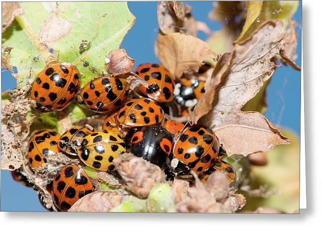 Hibernating Harlequin Ladybirds Greeting Card by Dr. John Brackenbury