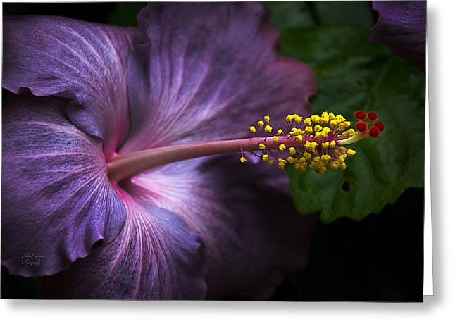 Medication Greeting Cards - Hibiscus Bloom in Lavender Greeting Card by Julie Palencia