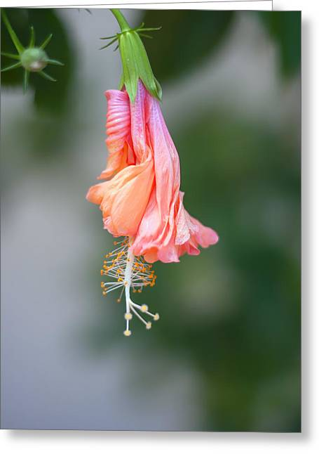 Apricot Greeting Cards - Hibiscus Bud Greeting Card by Nomad Art And  Design