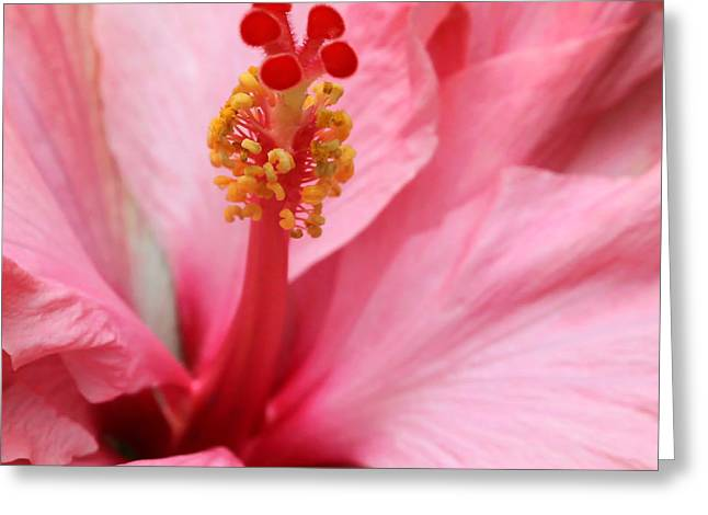Florida Flowers Greeting Cards - Hibiscus Flower Close Up Greeting Card by Sabrina L Ryan