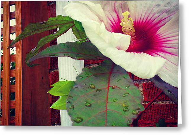 Clique Greeting Cards - Hibiscus Flower In Bloom Greeting Card by Charlie Cliques