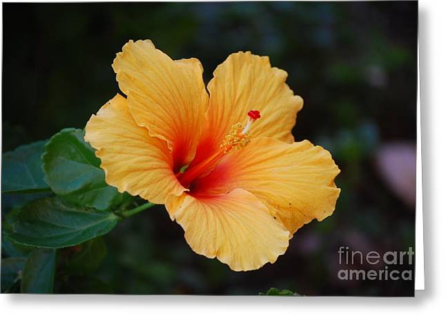Hibiscus Coast Greeting Cards - Hibiscus Flower in Puerto Rico Greeting Card by DejaVu Designs