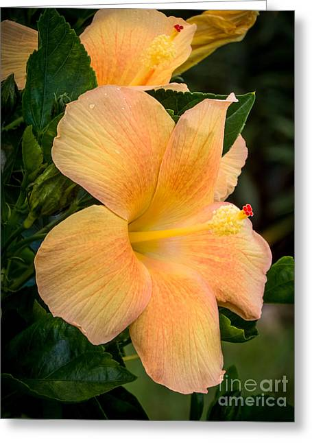 Hibiscus Flower Greeting Card by Zina Stromberg