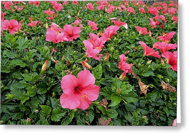 Hibiscus Coast Greeting Cards - Hibiscus Flowers Greeting Card by Buddy Mays