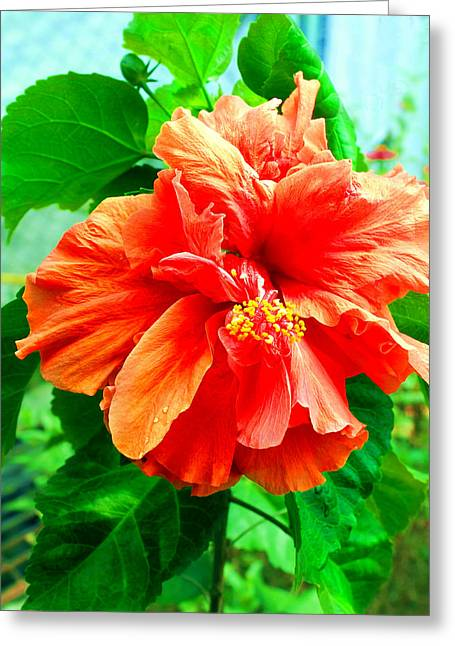 Flora Greeting Cards - Hibiscus Greeting Card by Francis Tan