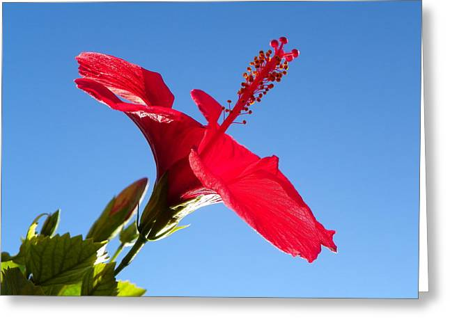 Noreen Hacohen Greeting Cards - Hibiscus Hope Greeting Card by Noreen HaCohen