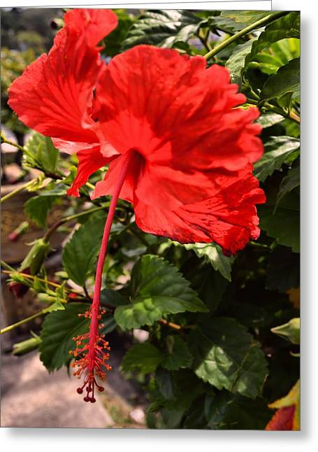 Striking Greeting Cards - Hibiscus in red. Greeting Card by Siti  Syuhada