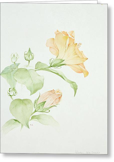 Botanical Greeting Cards - Hibiscus Rosa-sinensis Greeting Card by Sarah Creswell