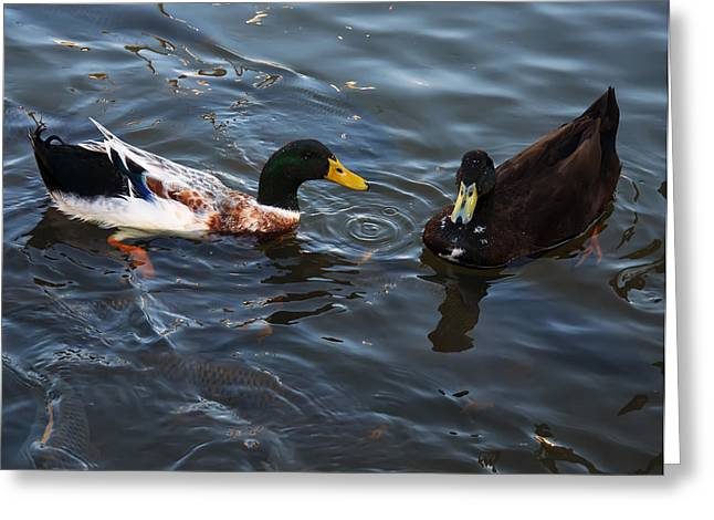 Hibred Ducks Swimming In Beech Fork Lake Greeting Card by Chris Flees