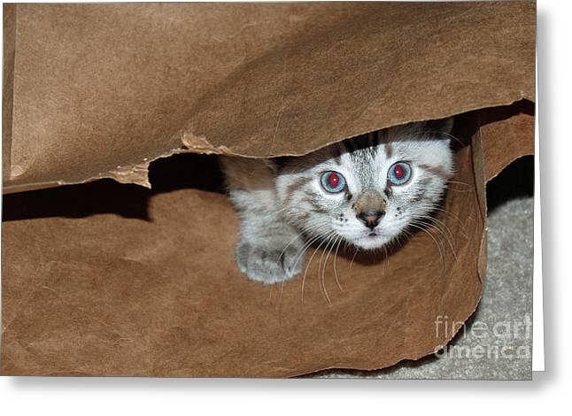 Brown Paper Bag Greeting Cards - Hide and Seek Kitten 4 Greeting Card by Eva Kaufman