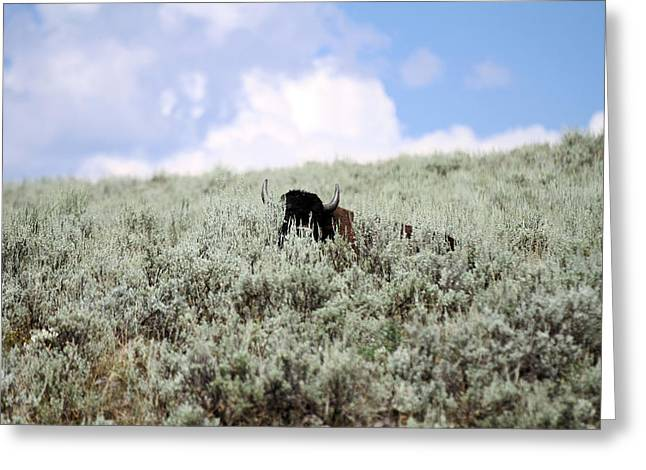 Buffalo Greeting Cards - Hiding Buffalo Greeting Card by Ty Helbach