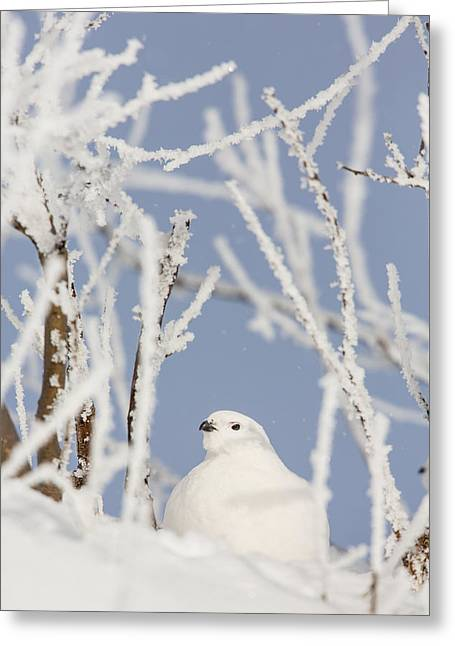 Hiding Greeting Cards - Hiding in Frosty Branches Greeting Card by Tim Grams