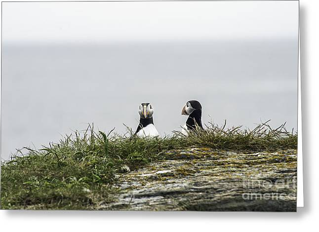 Sea Birds Greeting Cards - Hiding Puffins Greeting Card by Jim  Hatch