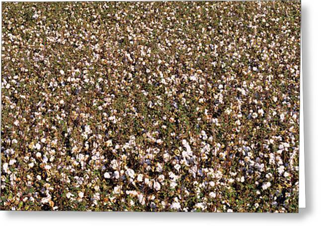 Cotton Balls Greeting Cards - High Angle View Of A Cotton Field Greeting Card by Panoramic Images