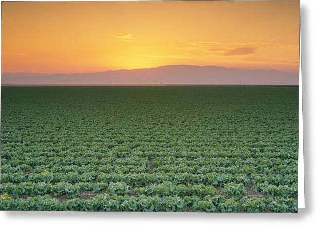 Lettuce Greeting Cards - High Angle View Of A Lettuce Field Greeting Card by Panoramic Images