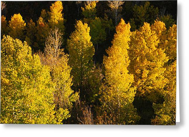 Telluride Greeting Cards - High Angle View Of Aspen Trees Greeting Card by Panoramic Images