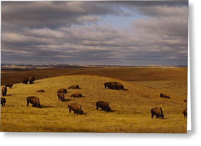 American Bison Greeting Cards - High Angle View Of Buffaloes Grazing Greeting Card by Panoramic Images
