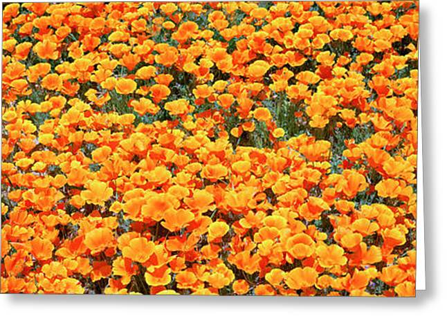Golden Poppies Greeting Cards - High Angle View Of California Golden Greeting Card by Panoramic Images