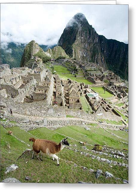 High Angle View Of Llama Lama Glama Greeting Card by Panoramic Images