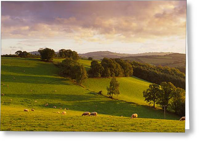 Pasture Scenes Greeting Cards - High Angle View Of Sheep Grazing Greeting Card by Panoramic Images