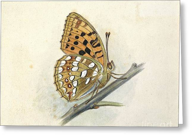 Artwork Of Butterfly Greeting Cards - High Brown Fritillary, 20th Century Greeting Card by Natural History Museum, London