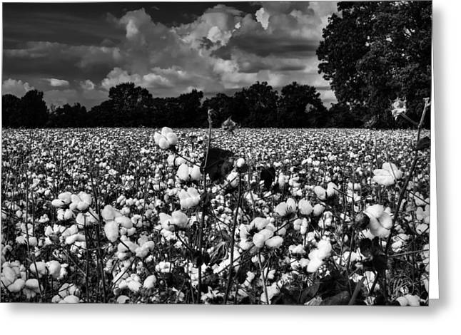 Boll Greeting Cards - High Cotton 002 BW Greeting Card by Lance Vaughn