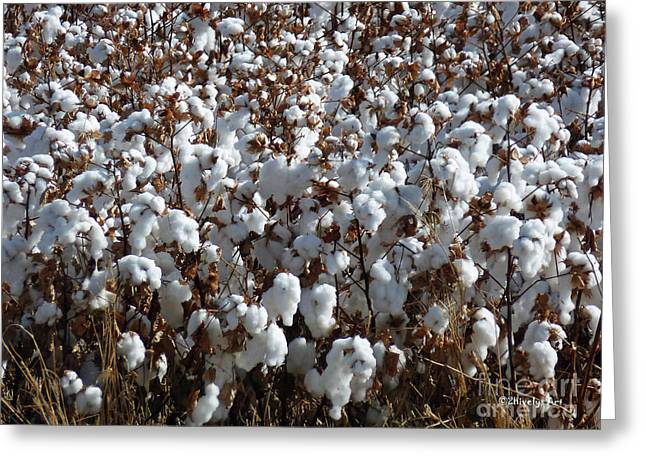 Cotton Farm Greeting Cards - High Cotton Greeting Card by Methune Hively