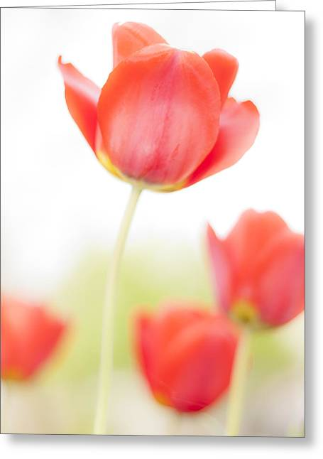 Interior Still Life Greeting Cards - High Key Tulips Greeting Card by Adam Romanowicz