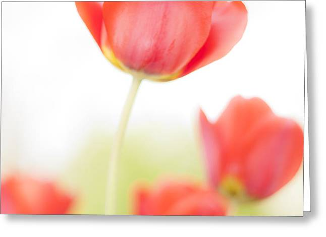 High Key Tulips Greeting Card by Adam Romanowicz