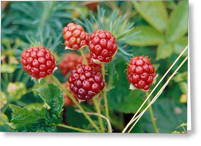 Red Berries Greeting Cards - Highbush Blackberry Rubus Allegheniensis Grows Wild In Old Fields And At Roadsides Greeting Card by Anonymous