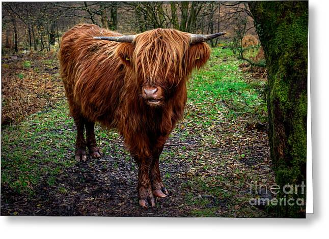 Highland Beast  Greeting Card by Adrian Evans