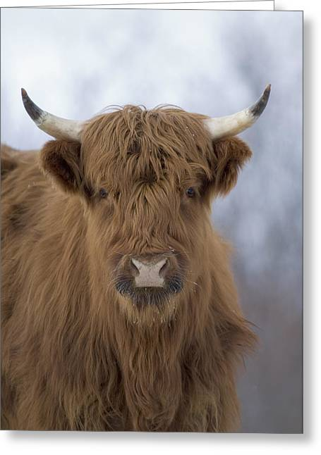 Kodiak Greeting Cards - Highland Cattle Kodiak Island Alaska Greeting Card by Michael Quinton