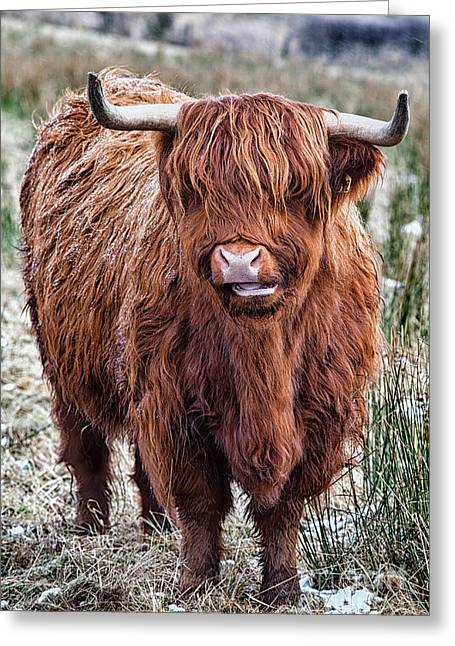 Snowy Day Greeting Cards - Highland Coo Greeting Card by John Farnan