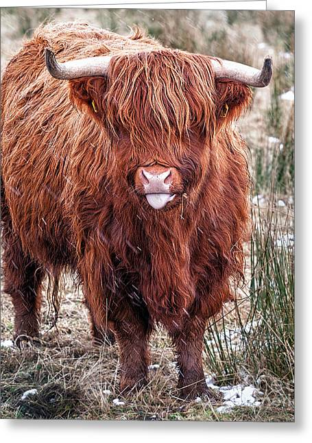 Cow Images Greeting Cards - Highland Coo with tongue out Greeting Card by John Farnan