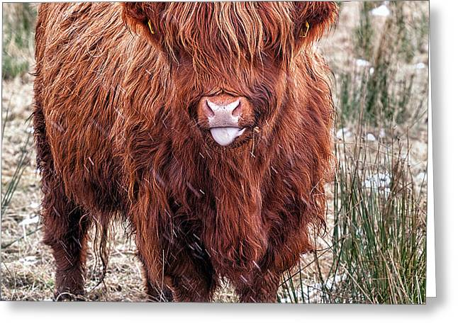 Highland Coo with tongue out Greeting Card by John Farnan
