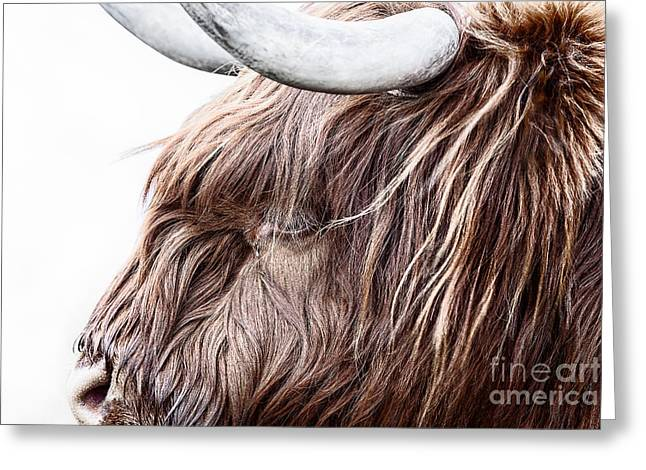 Snowy Day Greeting Cards - Highland Cow Color Greeting Card by John Farnan