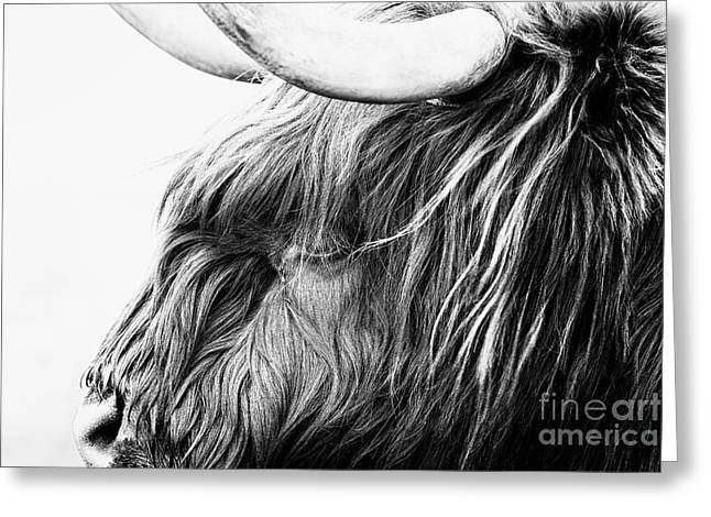 Snowy Day Greeting Cards - Highland Cow Mono Greeting Card by John Farnan