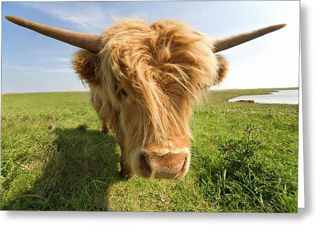 Highland Cow, North Yorkshire, England Greeting Card by John Short