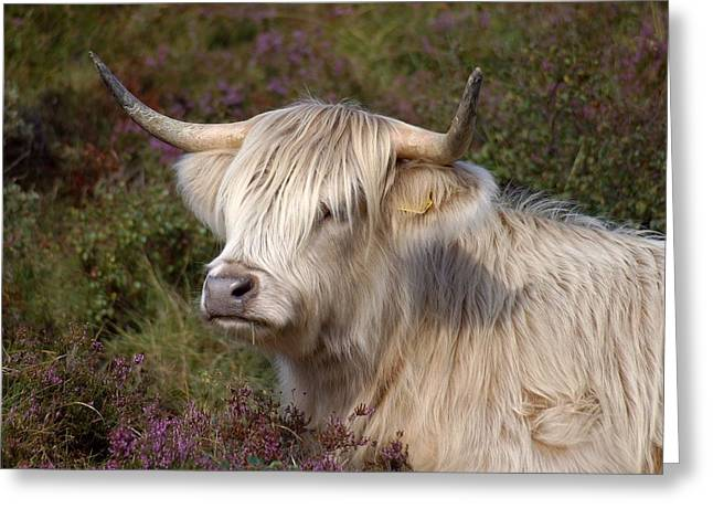 Highland Cow Greeting Cards - Highland Cow Photography Greeting Card by Rachel Stribbling