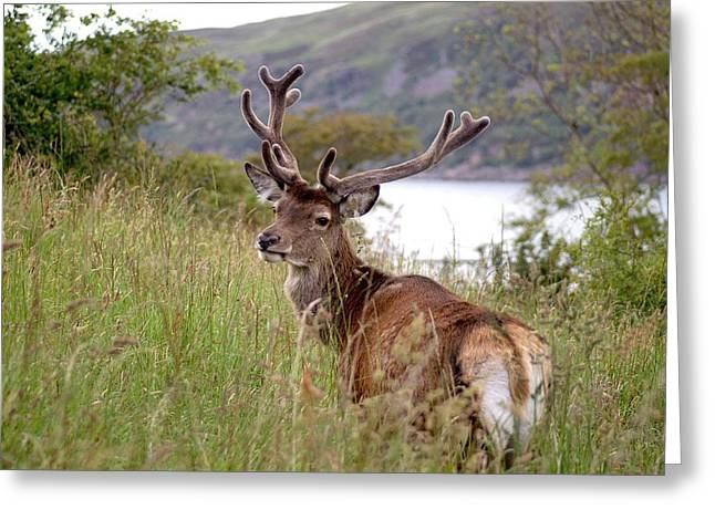 Stag Greeting Cards - Highland Stag Photography Greeting Card by Rachel Stribbling