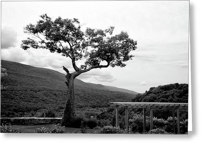 Guy Whiteley Greeting Cards - Hildene Tree 5689 Greeting Card by Guy Whiteley