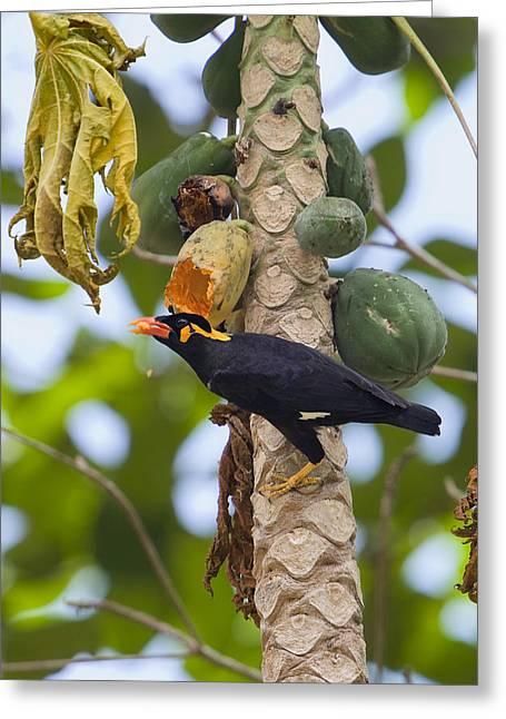 Papayas Greeting Cards - Hill Myna Eating On Papayaindia Greeting Card by Konrad Wothe