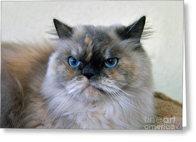 Colourpoint Greeting Cards - Himalayan Persian Cat Greeting Card by Catherine Sherman