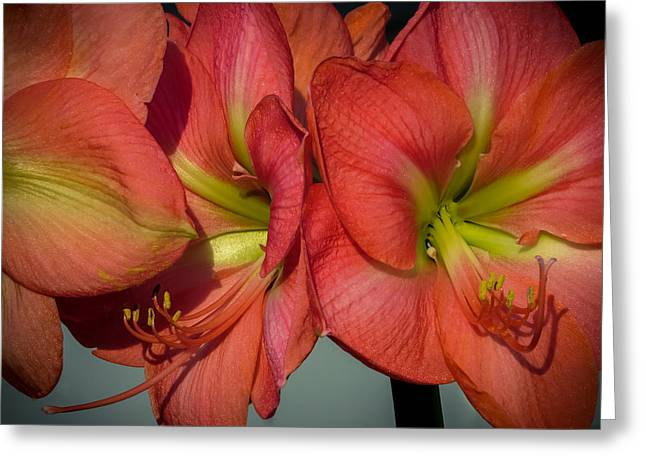 S Amaryllis Greeting Cards - Hippeastrum Greeting Card by Zina Stromberg