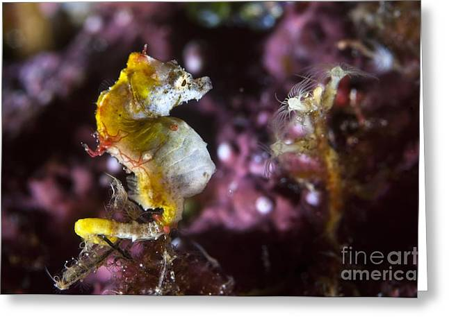 Sea Horse Greeting Cards - Hippocampus Pontohi Pygmy Seahorse Greeting Card by Matthew Oldfield
