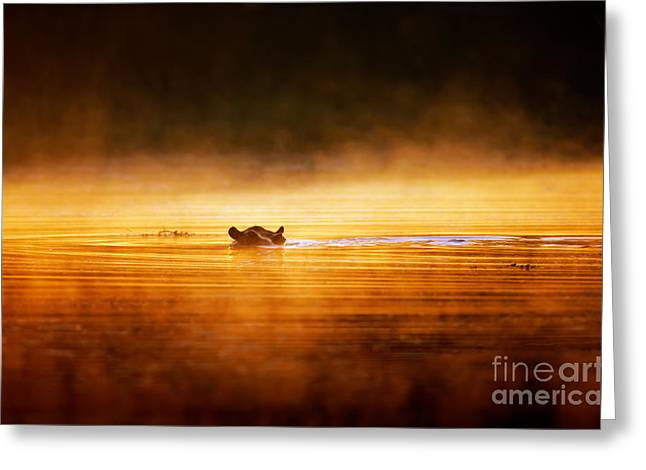 Backlight Greeting Cards - Hippopotamus at sunrise over misty river Greeting Card by Johan Swanepoel
