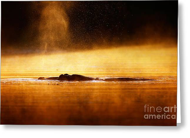 One Animal Greeting Cards - Hippopotamus blowing air at sunrise over misty river Greeting Card by Johan Swanepoel